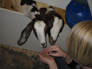 feeding-goats